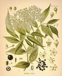 Elder Flowers 1/2 oz