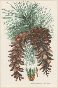 Pine, White Essential Oil 1 dram