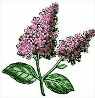 Lilac Fragrance Oil 1 dram
