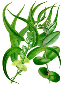 Eucalyptus Essential Oil 1 dram