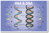 DNA & RNA NEW CLASSROOM BIOLOGY SCIENCE POSTERENVY POSTER