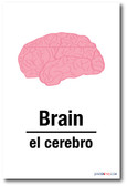 El Cerebro - Brain In Spanish - NEW Foreign Language Educational POSTER