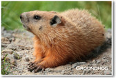 Groundhog - NEW Animal Wildlife Poster