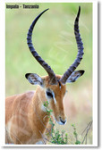 Impala - Tanzania - NEW Animal Wildlife Poster