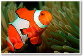 Clown fish in the Andaman Coral Reef - NEW Animal Wildlife Poster