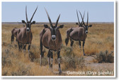 Gemsbok - NEW Animal Wildlife Poster