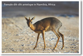 Female Dik-Dik Antelope Namibia - NEW Animal Wildlife Poster