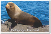 Galapagos Fur Seal - NEW Animal Wildlife Poster
