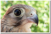 PosterEnvy - Falcon - Bird of Prey - Animal Poster