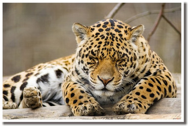 PosterEnvy - Sleeping Leopard - Animal Poster