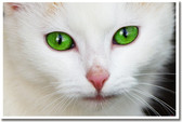 PosterEnvy - Green Eyed Cat - Animal Poster