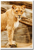 Lioness Wildlife Nature Animal Lion Poster (an166)