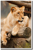Lioness in Repose Nature Wildlife Animal Lion Poster (an164)