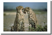 PosterEnvy - Cheetah Couple - Animal Poster