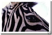 PosterEnvy - Zebra Eye - Animal Poster