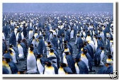 Male Emperor Penguins - Animal Poster