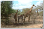 Giraffes - Safari - Animal Poster