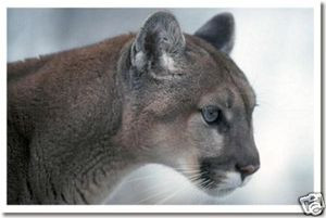 Mountain Lion - Big Cat - Cougar - Puma - Anlmal Poster