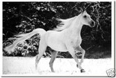 White Snow Horse - Equestrian - Animal Poster