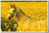 Horse & Buttercups - Animal Poster