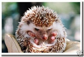 Hedgehog - Little Prickles