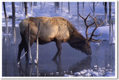 Elk in Winter - Animal Poster