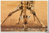 Giraffe Drinking - Animal Poster