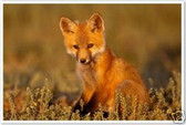 PosterEnvy - Fox Cub - Animal Poster
