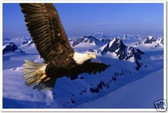 Bald Eagle in Flight -  Proud - Animal Poster
