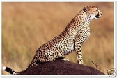 PosterEnvy - Cheetah on Alert - Africa