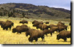 PosterEnvy - Herd of Bison (Buffalo)