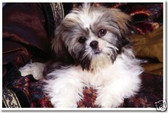 PosterEnvy - Lhasa Apso Puppy