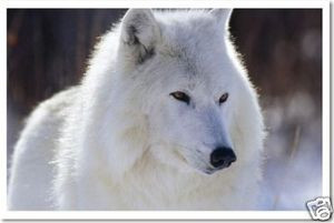 PosterEnvy - Arctic Wolf - Animal Poster