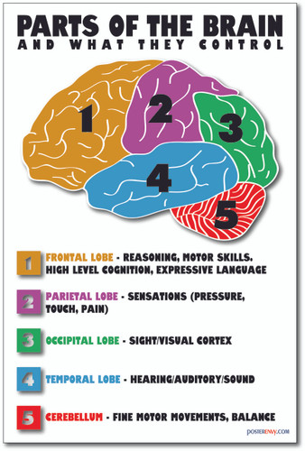 Parts of the Brain - NEW Science Classroom Biology Anatomy Poster (ms275) Cerebellum Frontal Cortex Lobe Parietal Occipital Temporal
