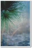 Morning Dew on Pine Needles