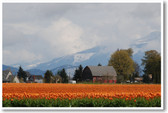 Barn in the Tulip Fields