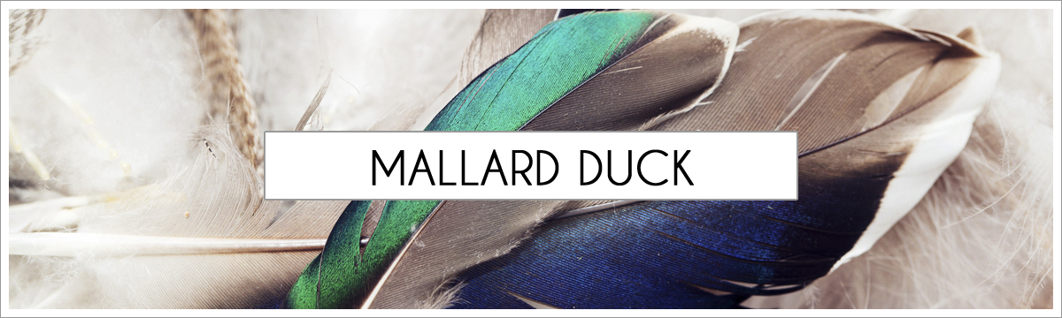 mallard-duck-picture-header2.jpg