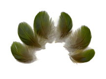 6 Pieces - Small Natural Green Amazon Parrot Body Plumage Feathers