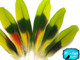 Lime Green Red Amazon Parrot Wing Feathers - Rare-