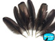 10 Pieces - Black Bronze Wild Turkey Wing Feathers