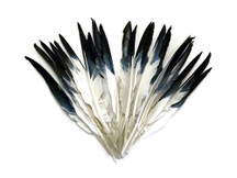 1/4 Lbs - Black Tipped Duck Pointer Primary Wing Wholesale Feathers (Bulk)