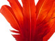 High quality turkey round tom wing feathers are ombre dyed a fiery red. These beautiful feathers are deal for wings, cosplay costumes, masks, and more.