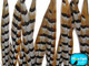 Natural colored striped pheasant feathers
