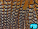 Extra Long striped patterned natural color pheasant feathers