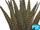 Natural striped tall pheasant feathers