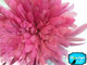 2.5 Inch Strip - Candy Pink Strung Natural Bleach And Dyed Coque Tails Feathers