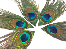 Iridescent Peacock Tail Feathers Cut