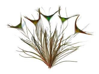 """10-12"""" Natural Green Peacock 'T' Curved Tail Feathers"""