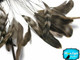 High Quality natural chinchilla stripped Coque rooster feathers. Used for crafting and DIY projects.