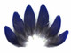 Natural Royal Blue Hyacinth Macaw Rare Vent Small Feathers